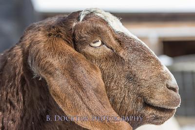 Kim Greenberg Farm Animals-7