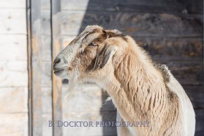 Kim Greenberg Farm Animals-1