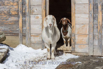 Kim Greenberg Farm Animals-29