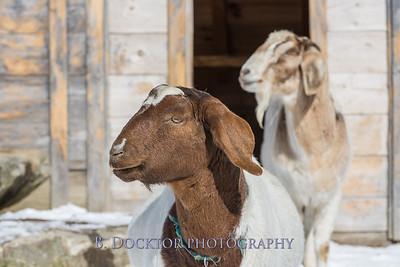 Kim Greenberg Farm Animals-12