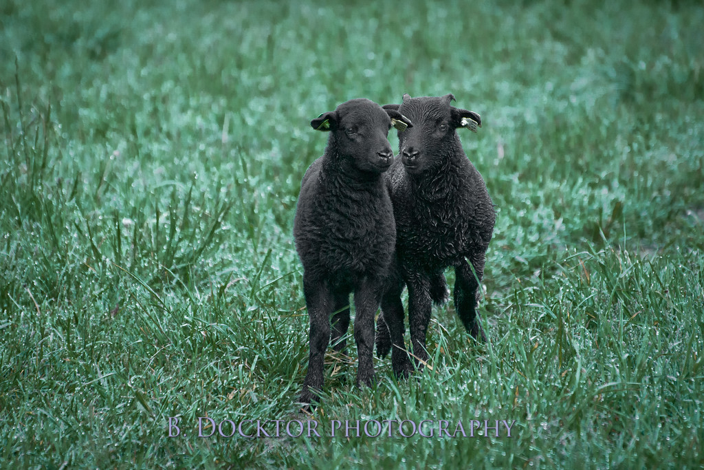 1205_Black Sheep Hill Farm_019