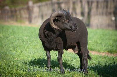 Black Sheep Hill Farm-62