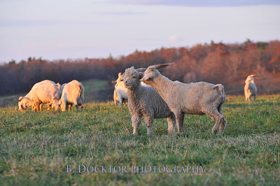 0911 Buckwheat Bridges angora goats-20