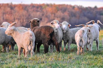 0911 Buckwheat Bridges angora goats-19