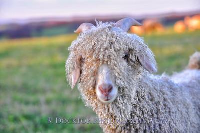 0911 Buckwheat Bridges angora goats-16