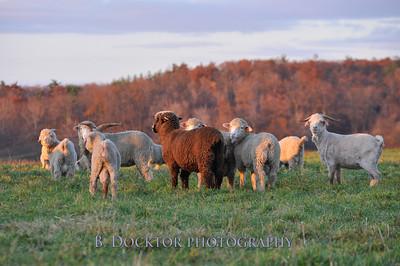 0911 Buckwheat Bridges angora goats-21