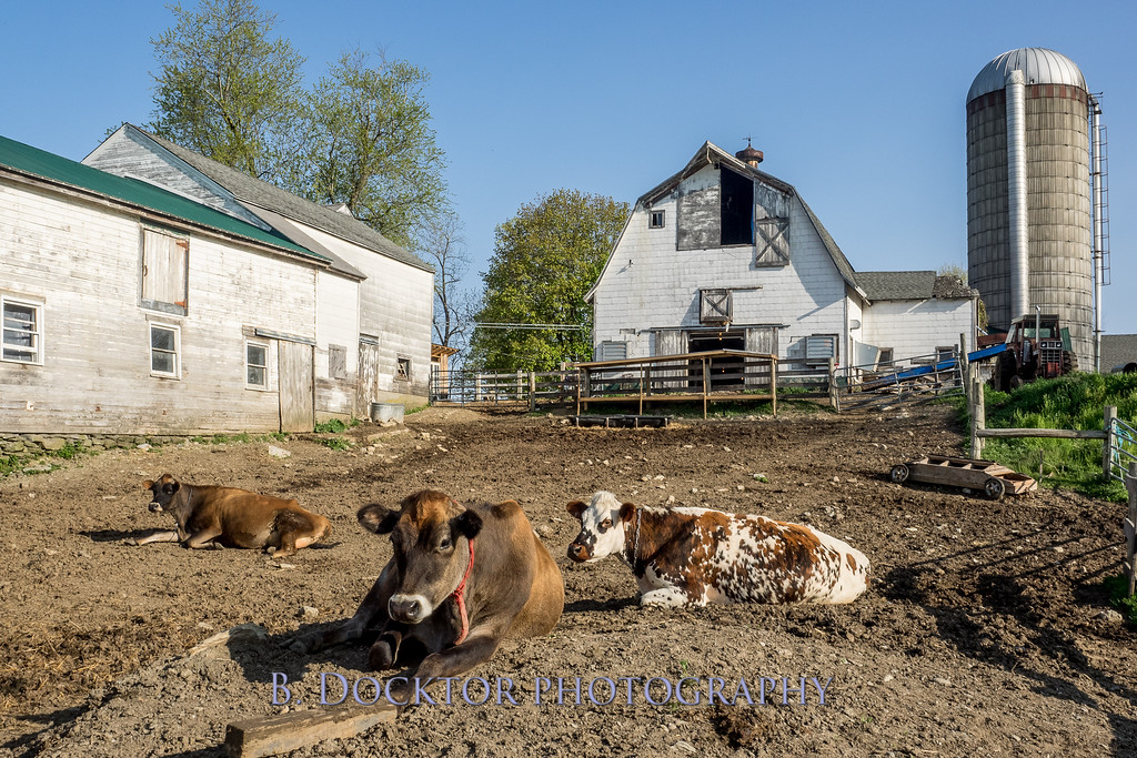 1605_Chaseholm Farm cows and pigs_108
