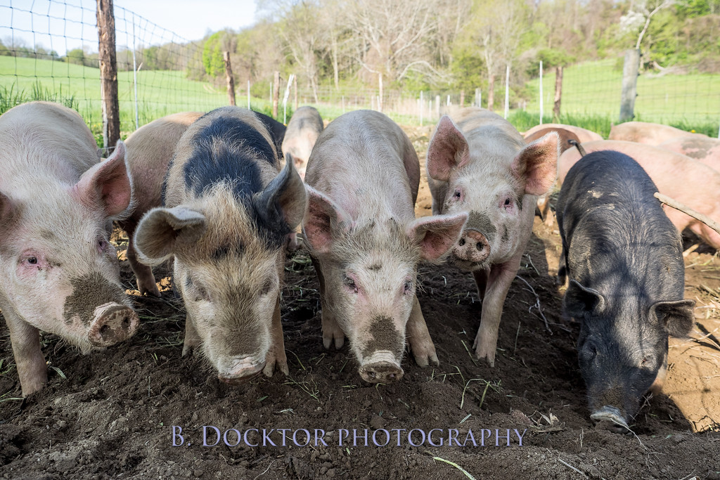1605_Chaseholm Farm cows and pigs_023