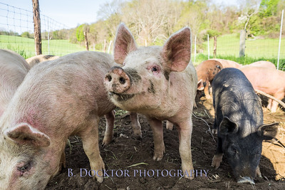 1605_Chaseholm Farm cows and pigs_034