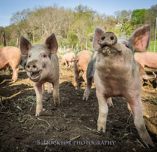1605_Chaseholm Farm cows and pigs_016