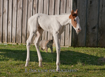 1204_Western Riding Stable Foal_033