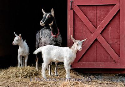 1205_Paden Goats_193