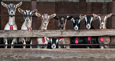 Coach Farm Goats lining up for their photo op