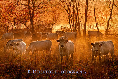 Herondale Cows sunrise fog Master-1 copy