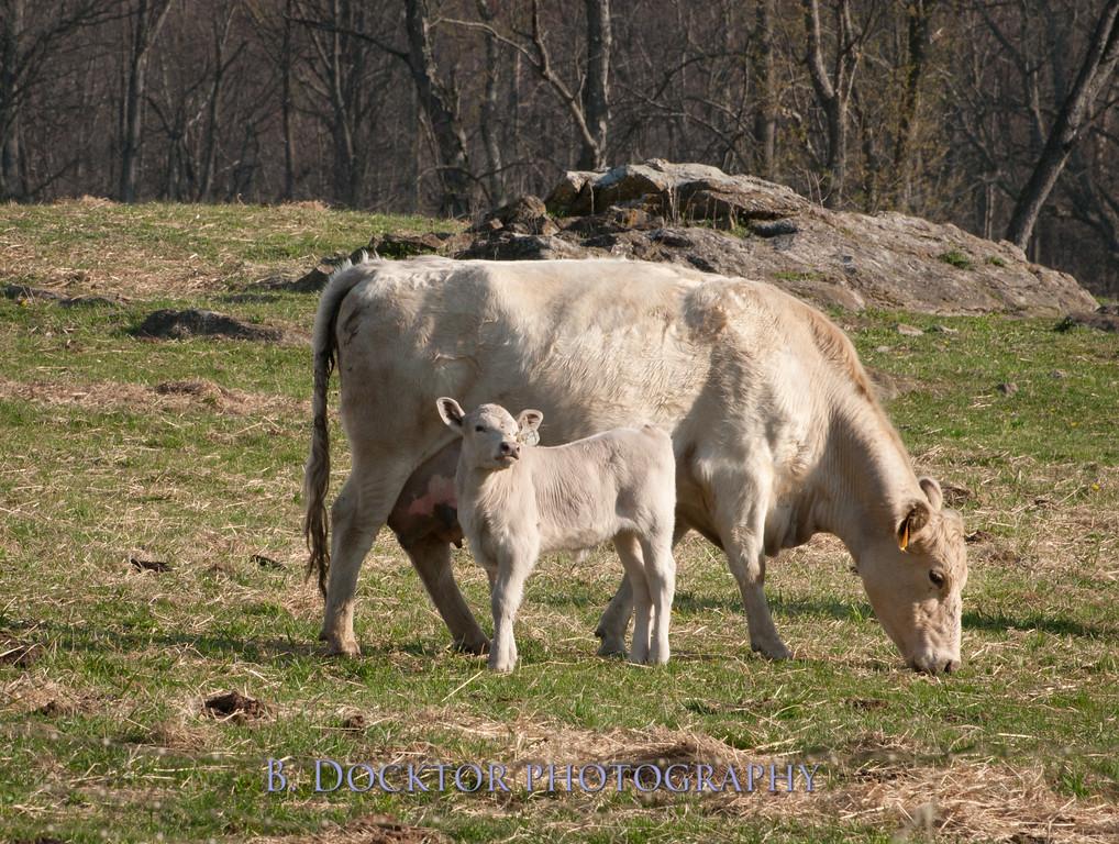 1204_Herondale Cows, calves_065