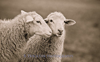 1010_2 Sheep Whispering Sepia Master_001