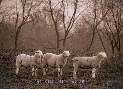 3 Sheep Herondale Farm Master-1