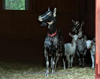 1205_Paden Goats_141