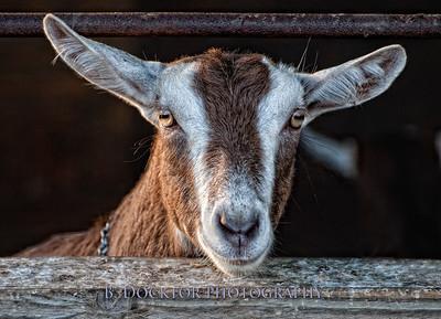 1107_Coach Farm Goats_018-2