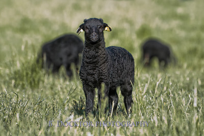 1205_Black Sheep Hill Farm_065