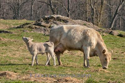 1204_Herondale Cows, calves_076