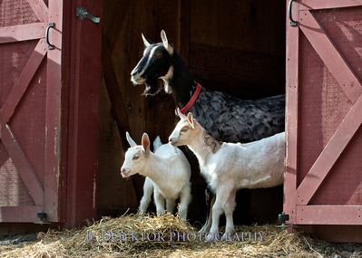 1205_Paden Goats_176