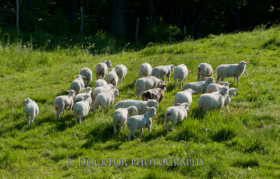 1205_Herondale Sheep on Undermountain Rd_017