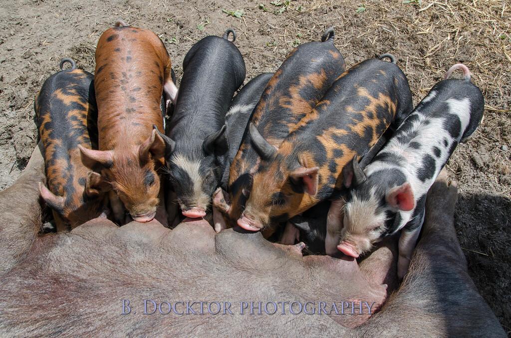 1305_Spruce Ridge piglets_007