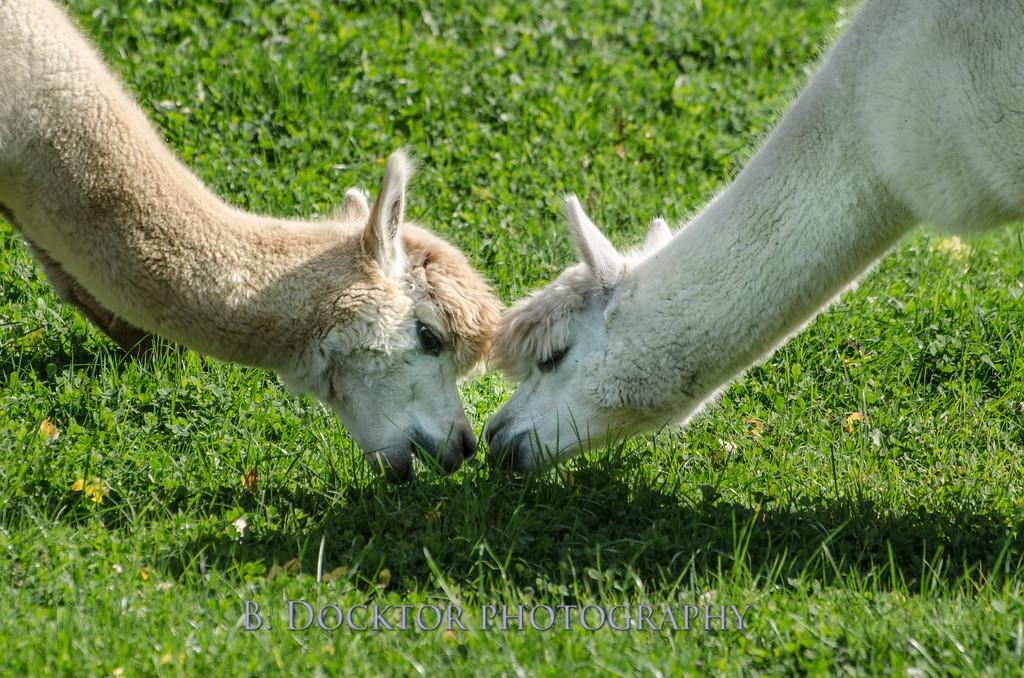 1310_Spruce Ridge alpacas_056