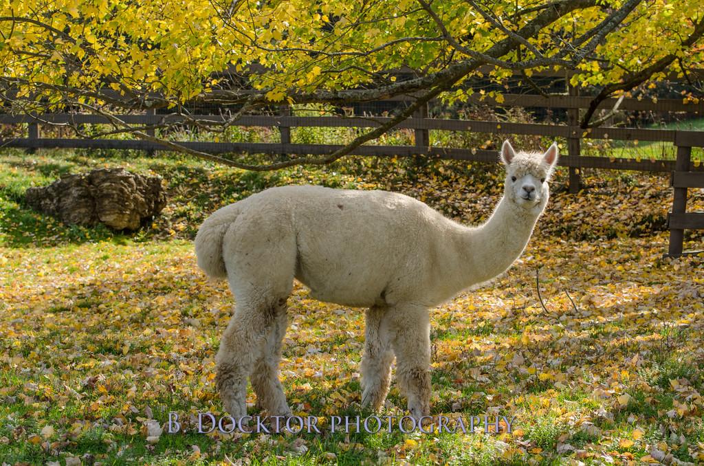 1310_Spruce Ridge alpacas_025