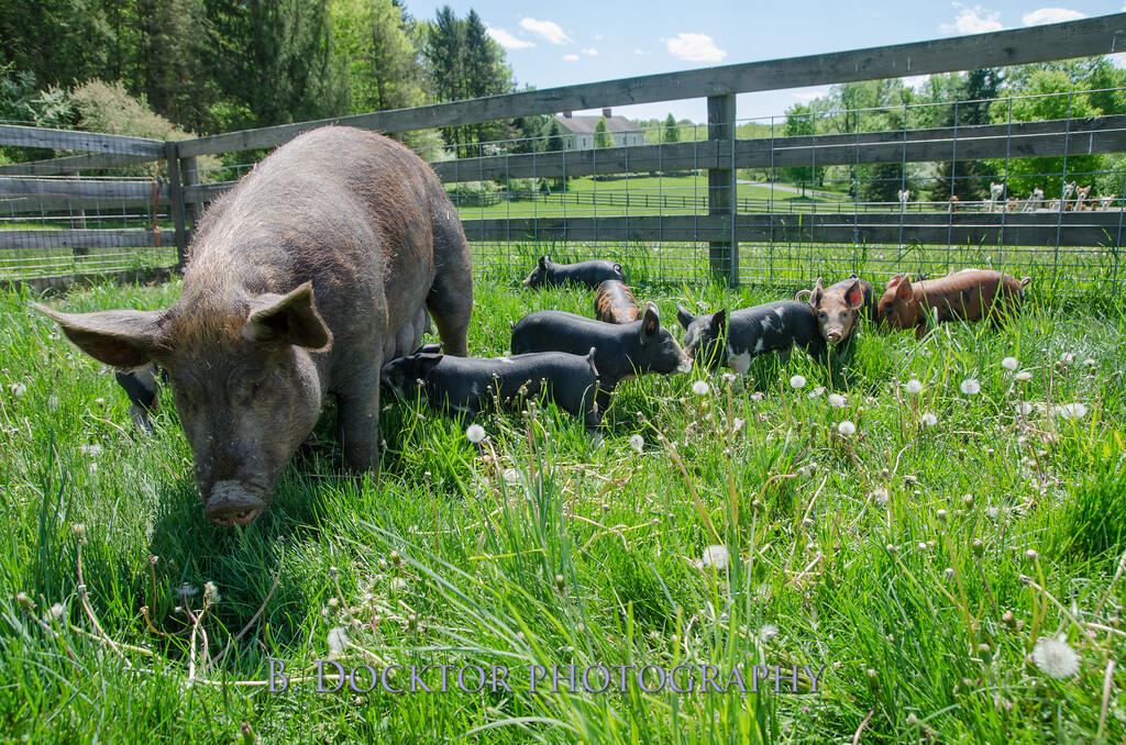1305_Spruce Ridge piglets_042