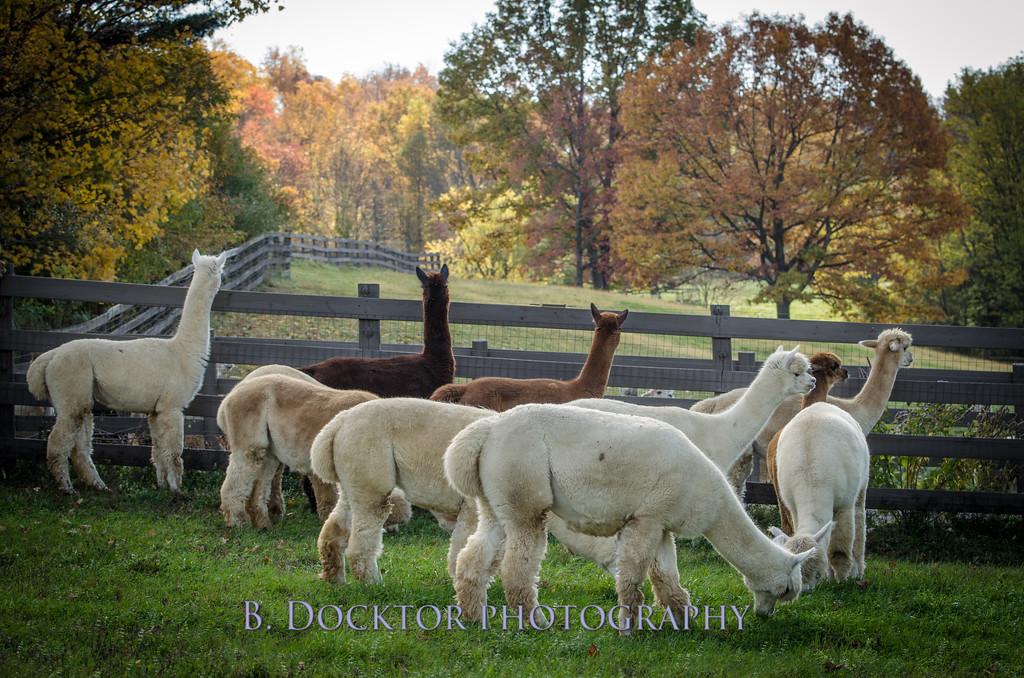 1310_Spruce Ridge alpacas_064