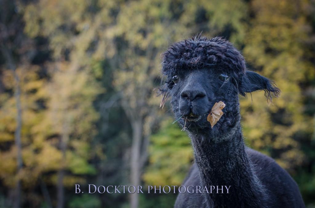 1310_Spruce Ridge alpacas_015