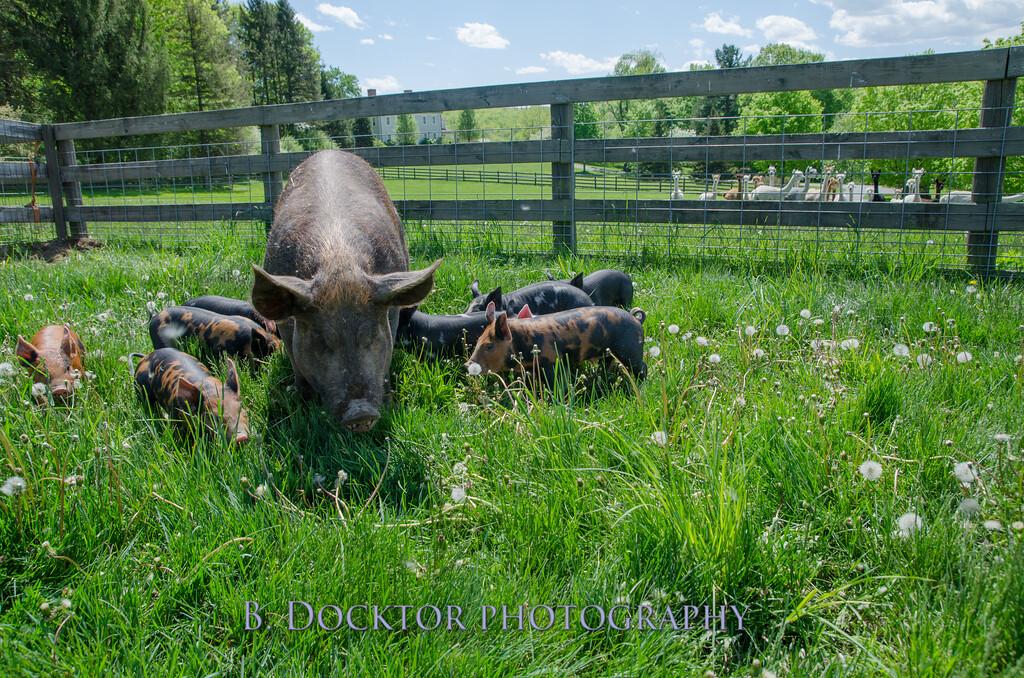 1305_Spruce Ridge piglets_044