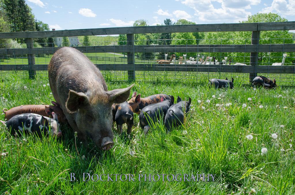 1305_Spruce Ridge piglets_050