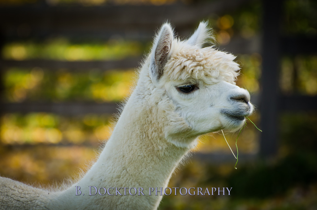 1310_Spruce Ridge alpacas_009