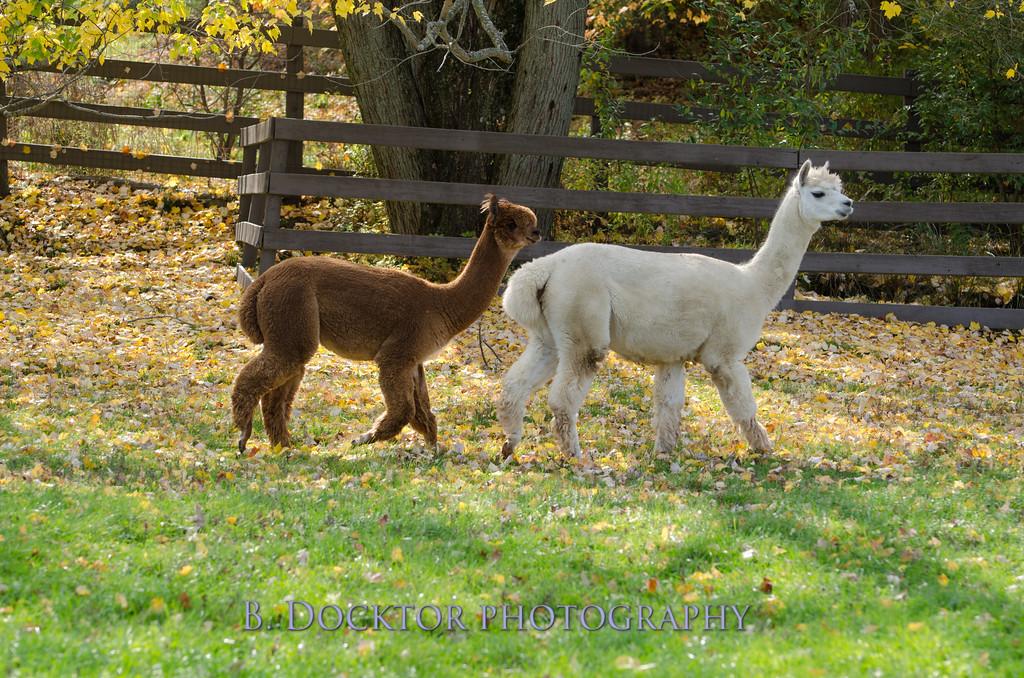 1310_Spruce Ridge alpacas_032