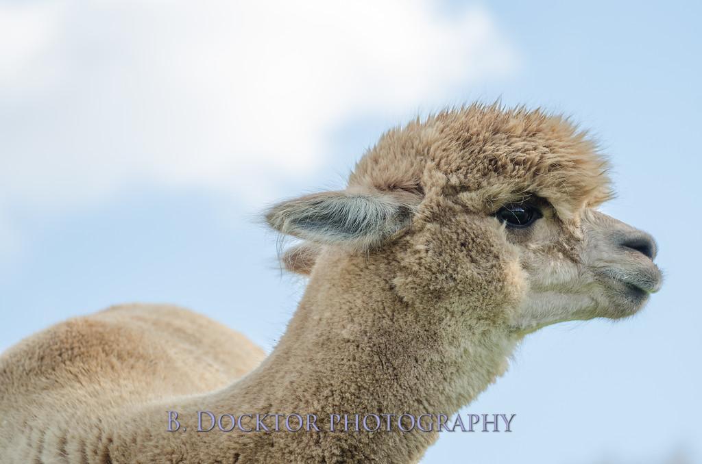 1310_Spruce Ridge alpacas_022