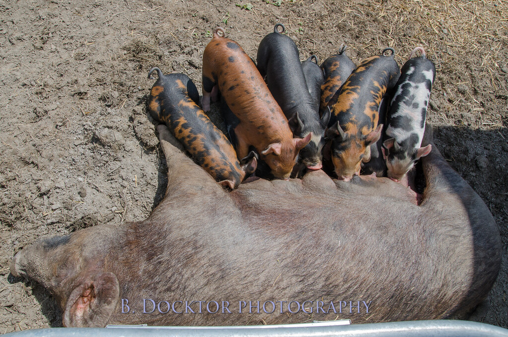 1305_Spruce Ridge piglets_005