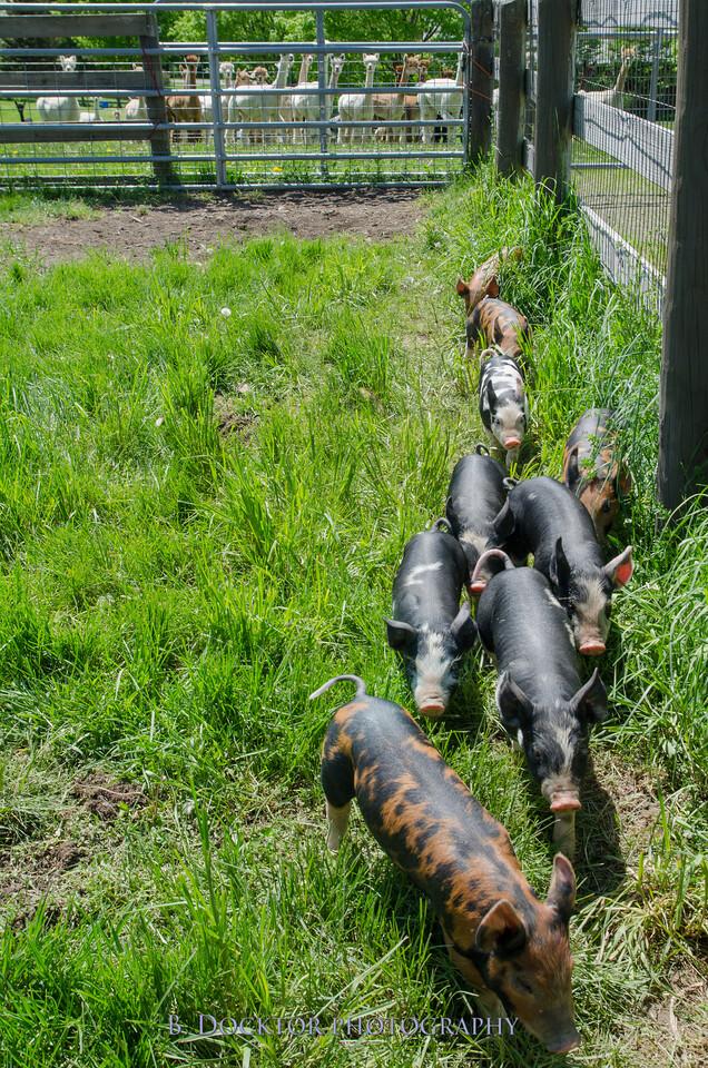 1305_Spruce Ridge piglets_052