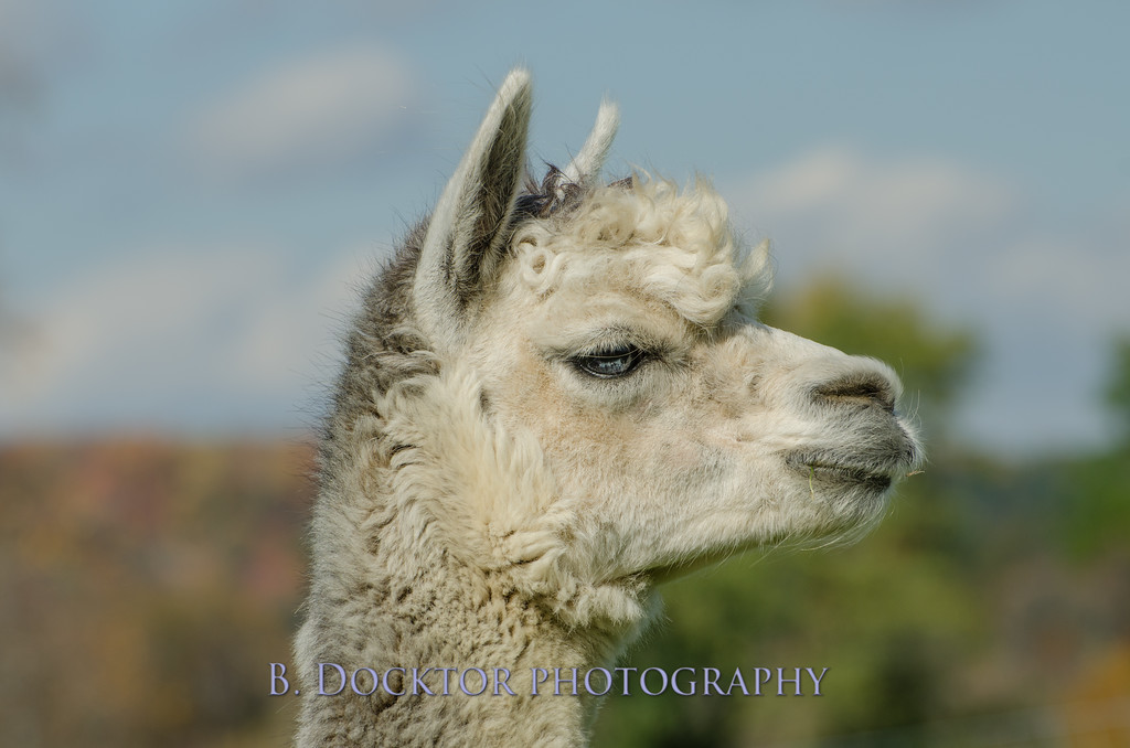 1310_Spruce Ridge alpacas_078