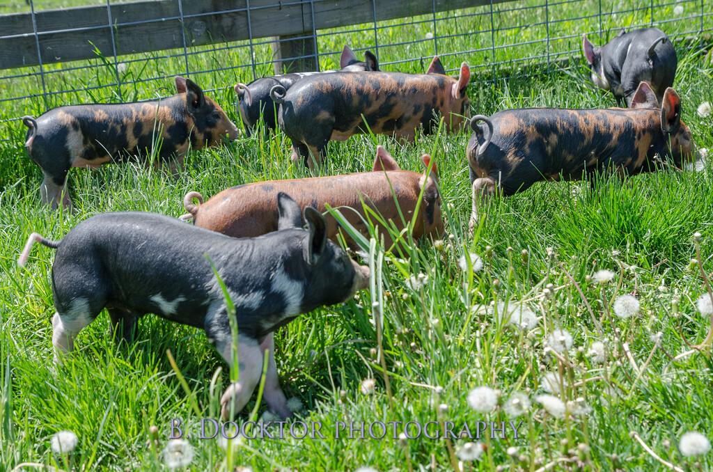 1305_Spruce Ridge piglets_037