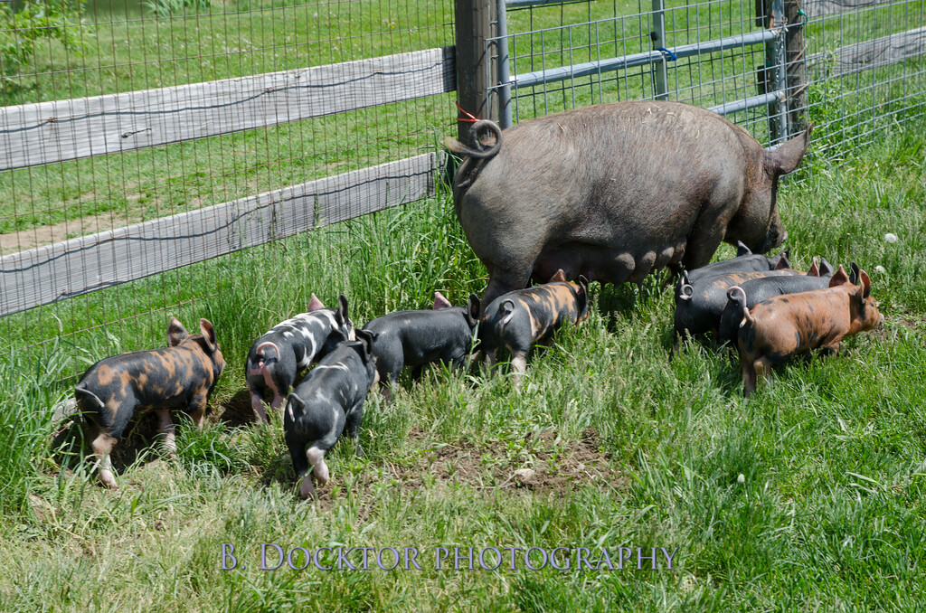 1305_Spruce Ridge piglets_020