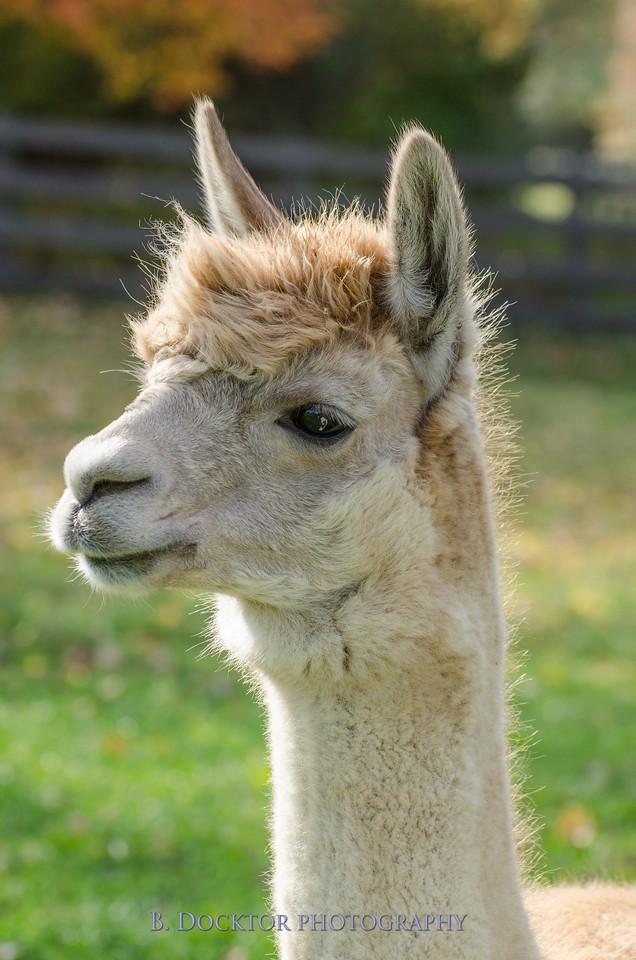1310_Spruce Ridge alpacas_036