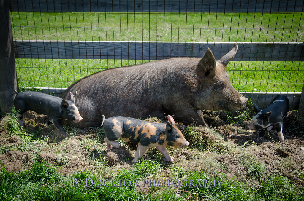 1305_Spruce Ridge piglets_028