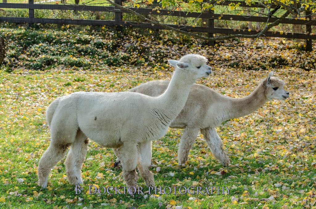 1310_Spruce Ridge alpacas_058
