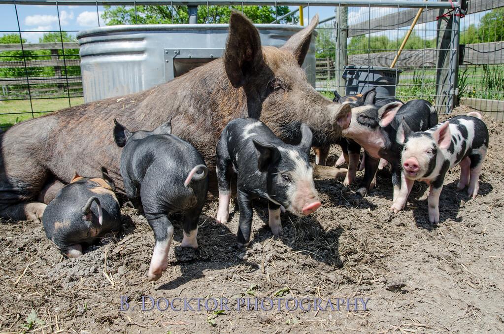 1305_Spruce Ridge piglets_012