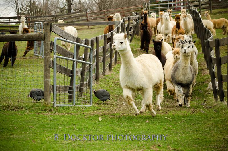 1304_Spruce Ridge Farm_062