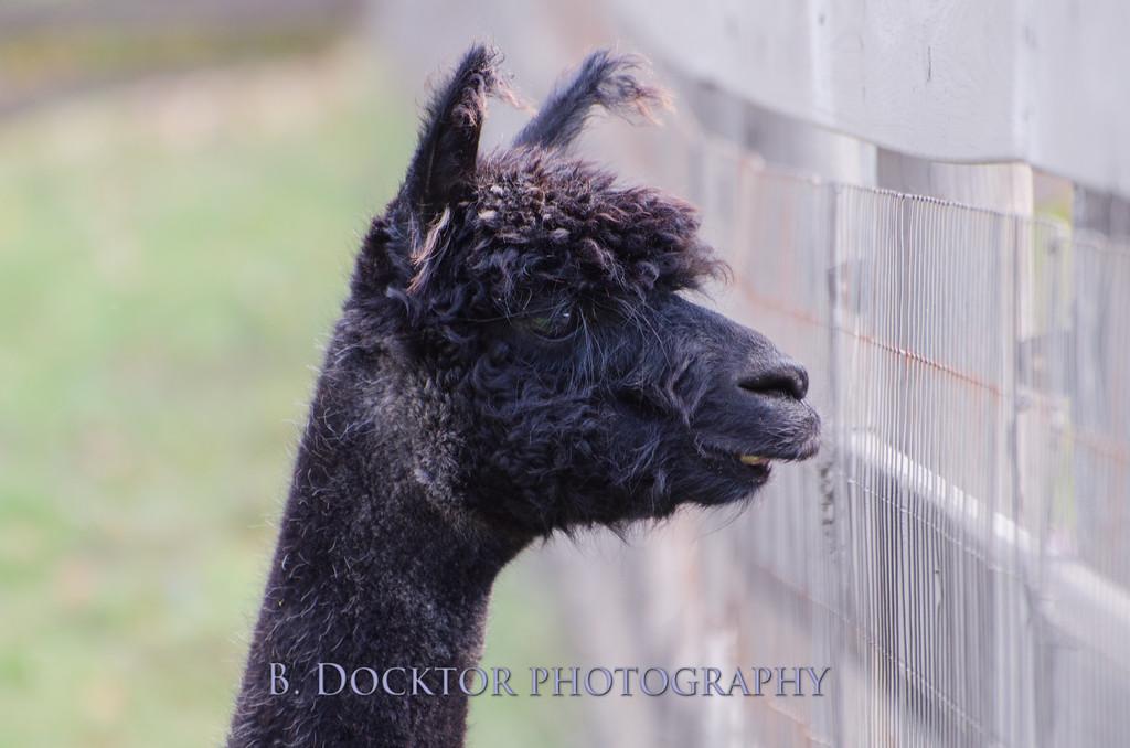1310_Spruce Ridge alpacas_067