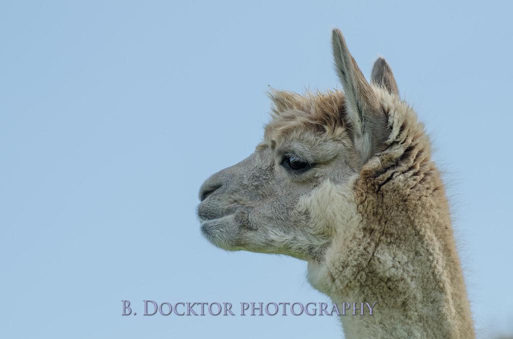 1310_Spruce Ridge alpacas_023